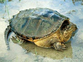 Chelydra_serpentina_Snapping_turtle