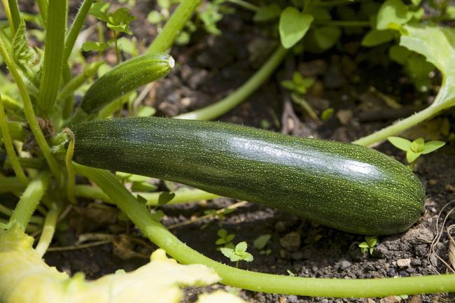 calabacin-cultivo