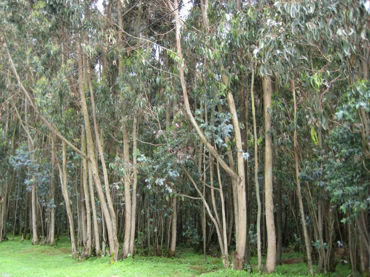 Sustituyen eucaliptos en Lousame (A Coruña) por más de 1.000 árboles autóctonos tras recaudar 8.000 euros de donaciones por 'crowdfunding'